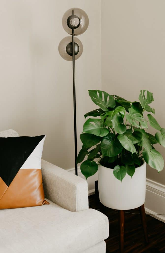 caring for your Monstera Deliciosa, AKA: Swiss Cheese Plants.â€