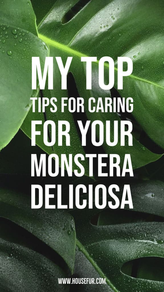 houseplant care tips for your monstera