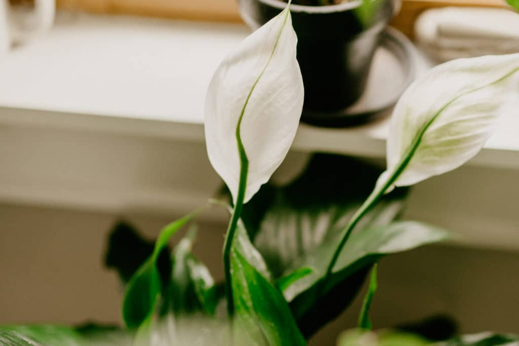 houseplants for cleaner air in your home