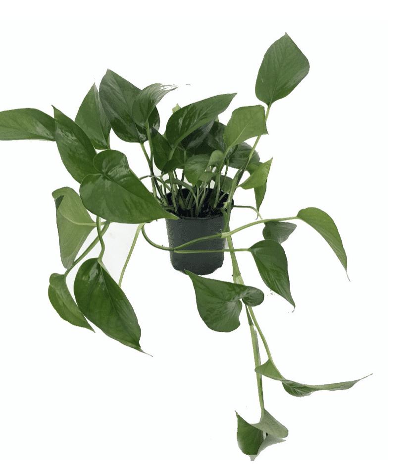 pothos low light houseplant