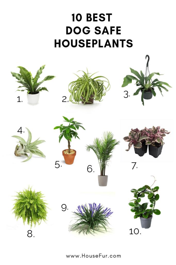list of 10 dog safe houseplants