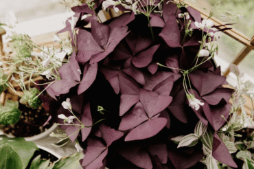 Oxalis triangularis (AKA false ☘️ shamrock)