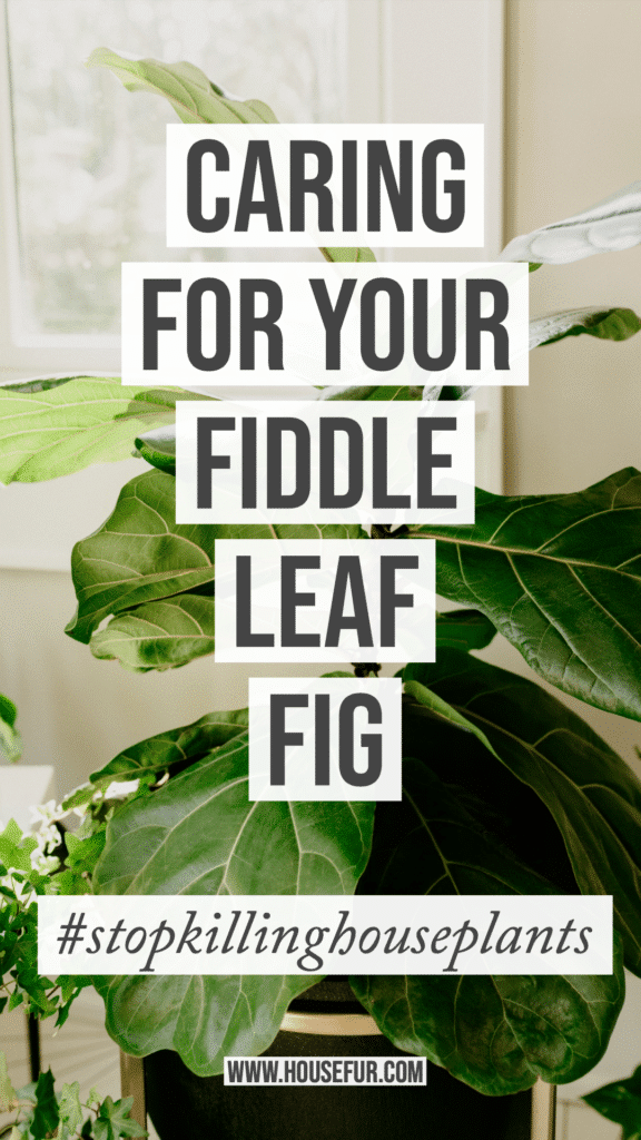 care tips for your fiddle leaf fig