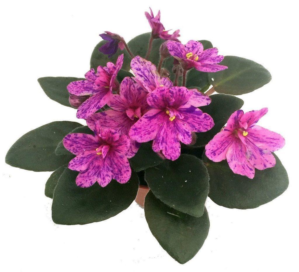 African violet houseplant