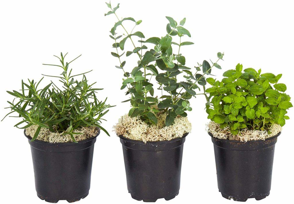 mint rosemary kitchen herbs plants