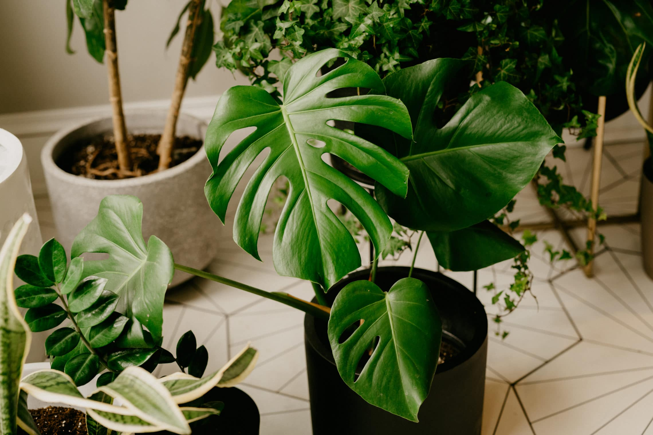 How To Get Your Monstera Leaves To Split House Fur