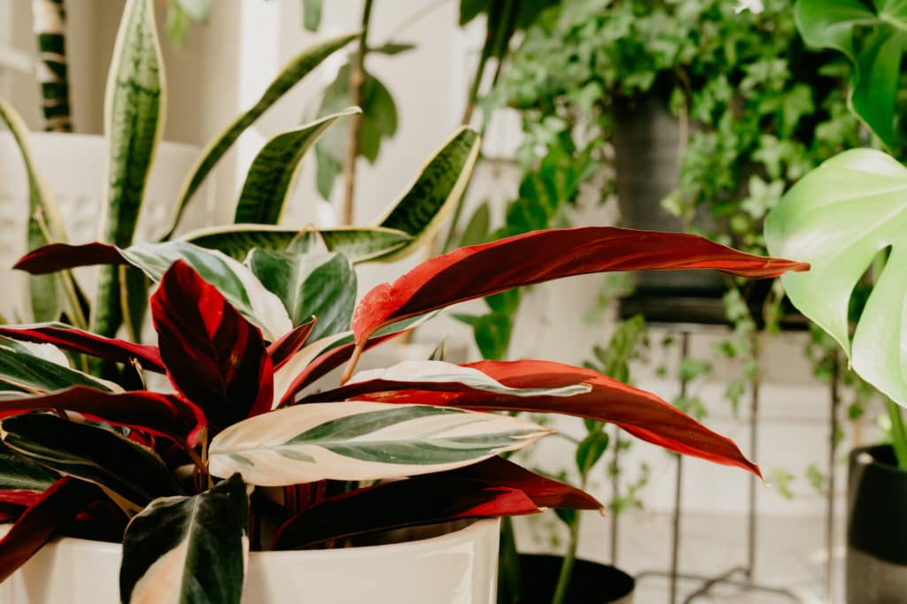 pink houseplant