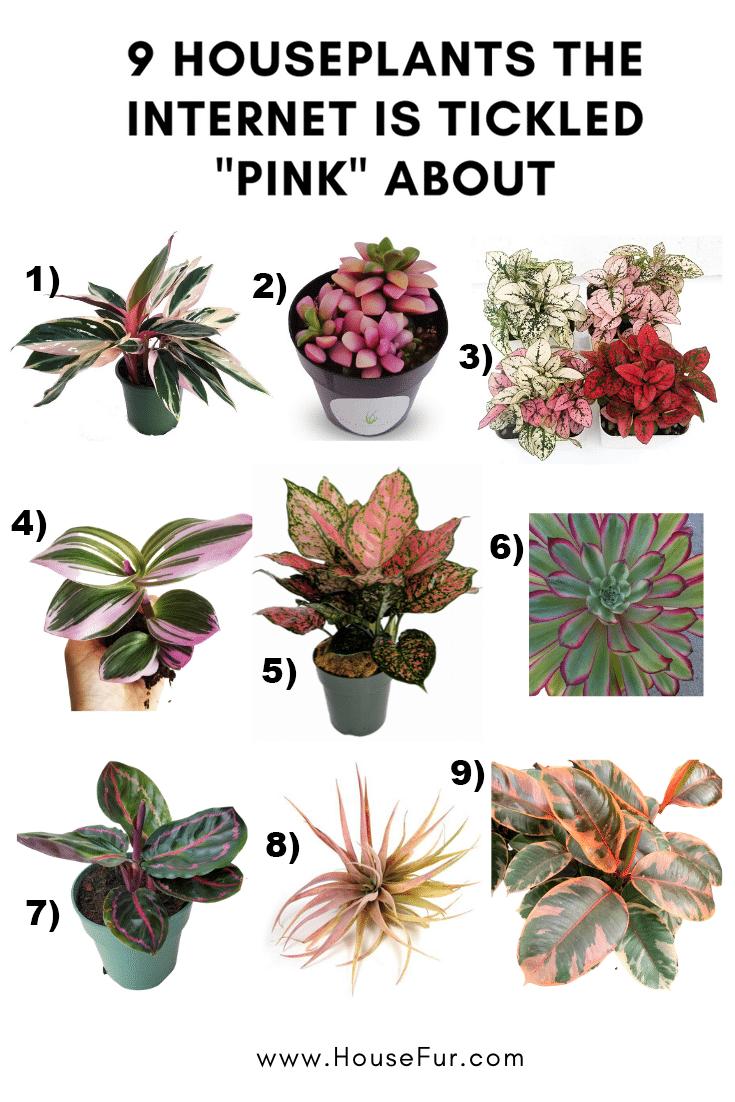 pink houseplants