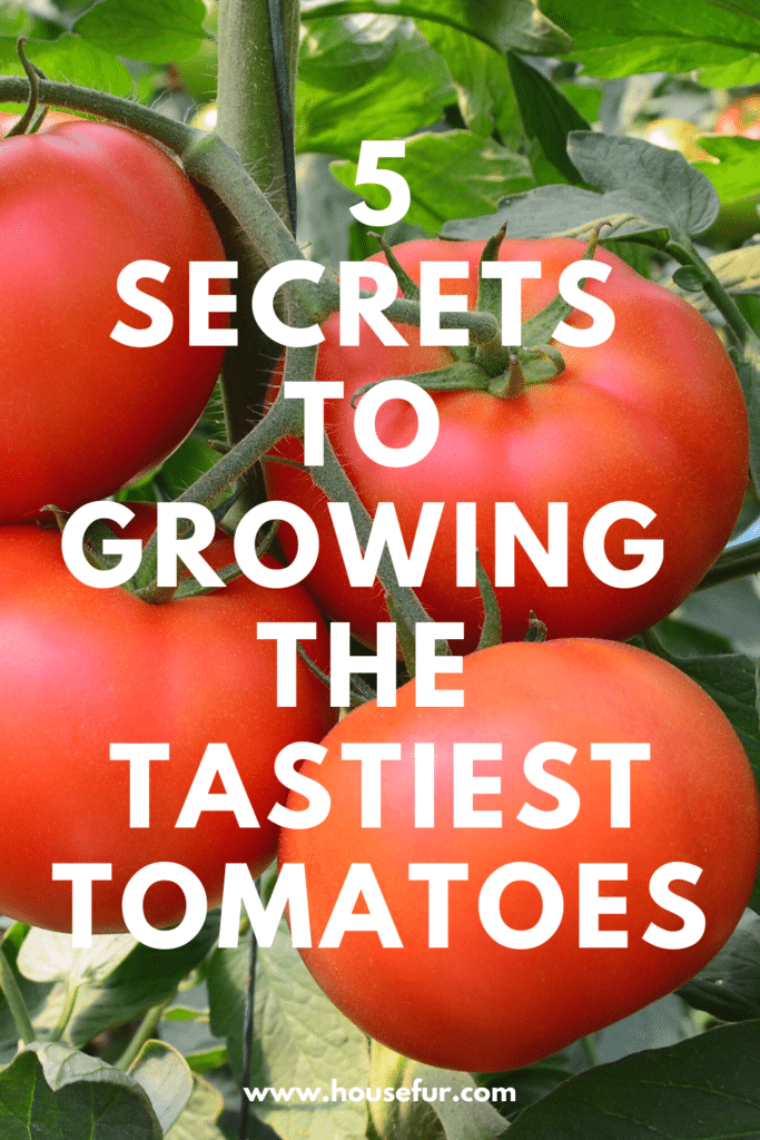 tips for tastiest tomatoes