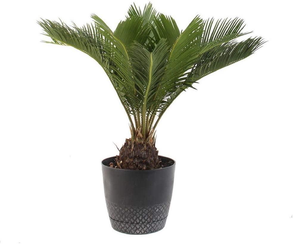 sago palm full sun houseplants