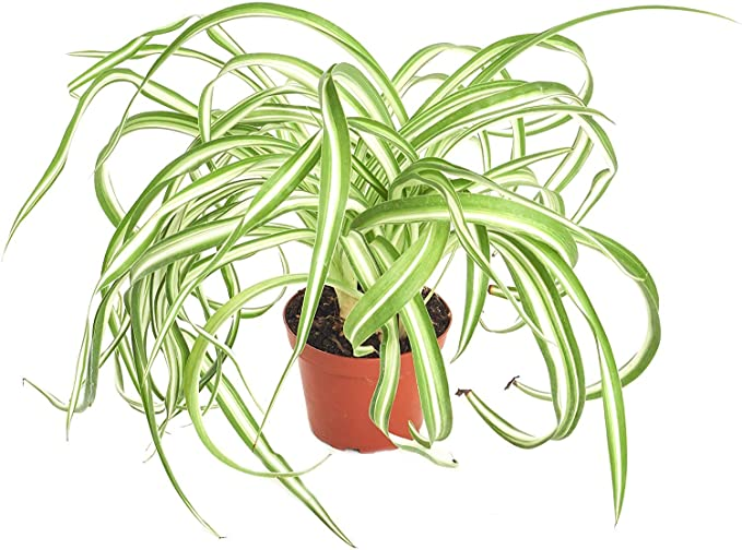 spider plant non toxic dogs