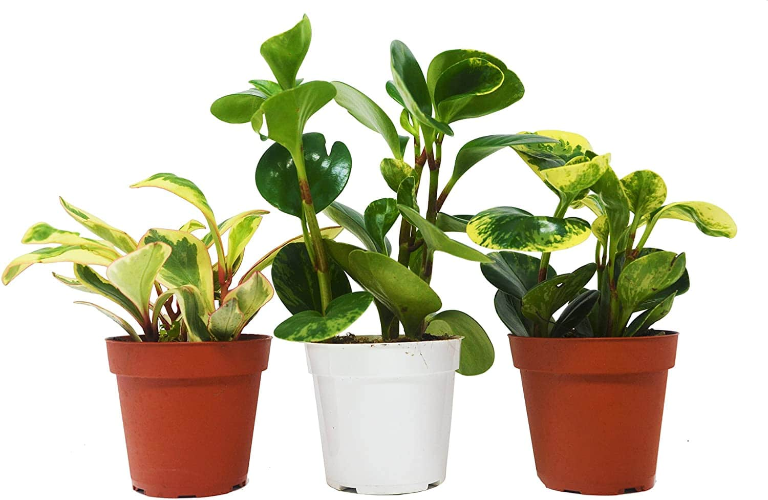 non toxic dog houseplants