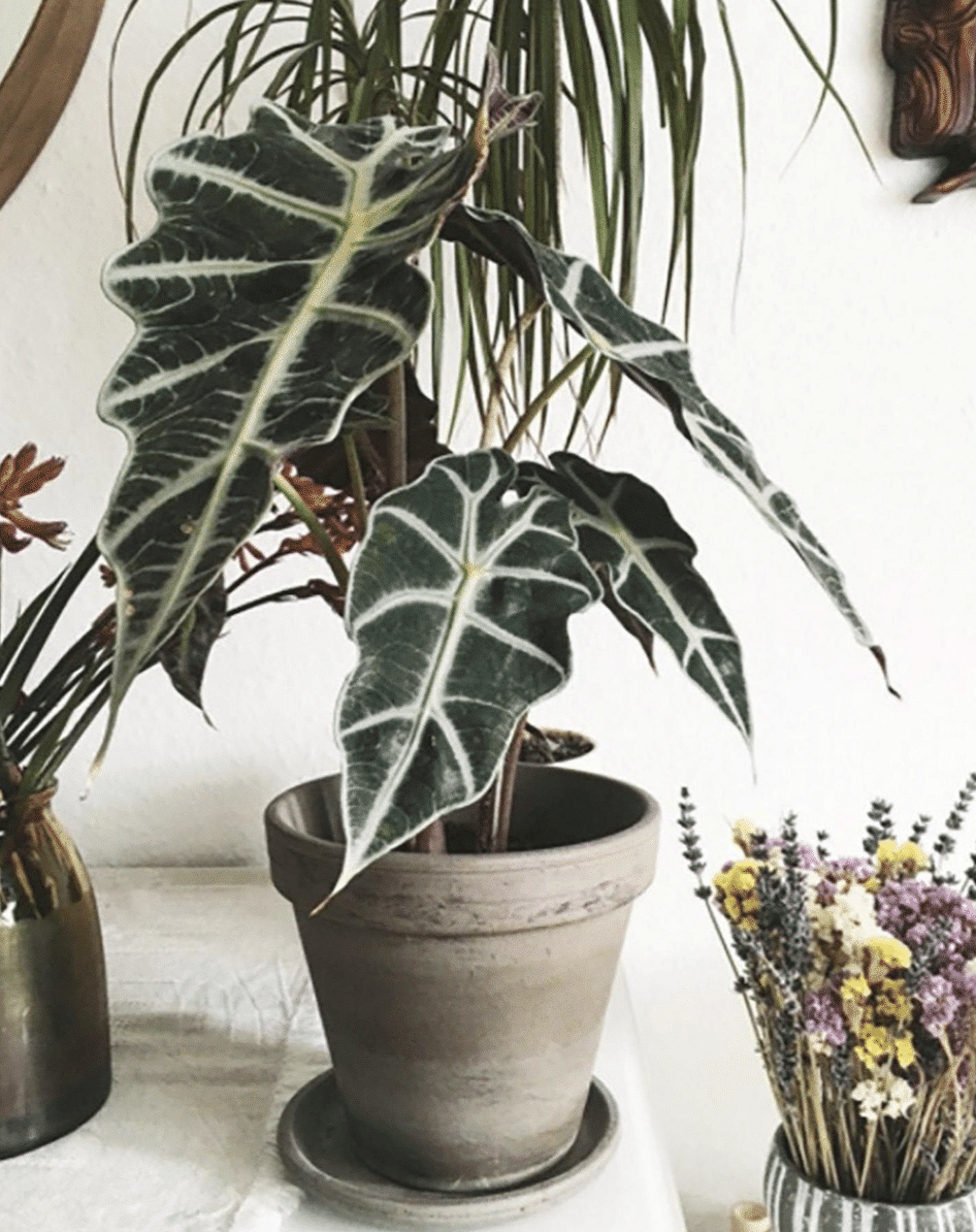 African Mask Plant rare houseplant