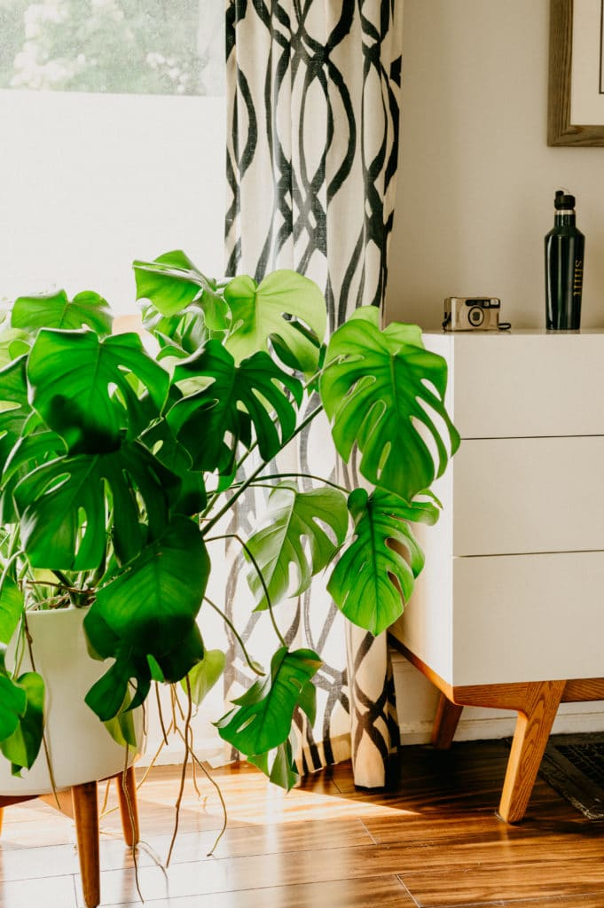 monstera care tips for yellow leaves