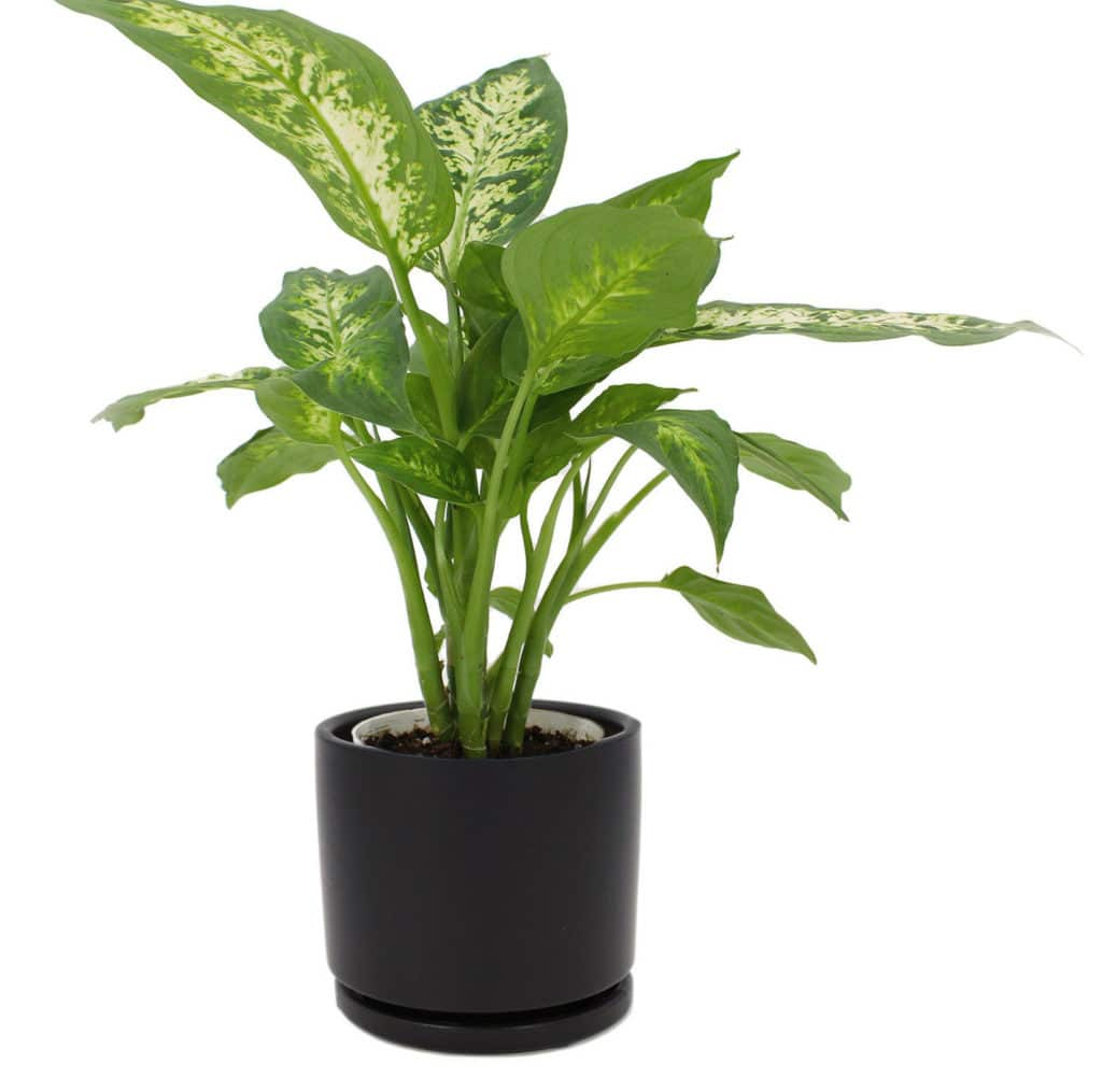 dumb cane Chinese evergreen