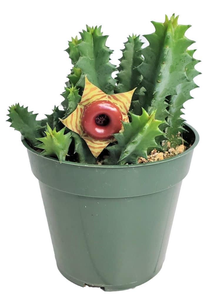 life saver rare succulent plant