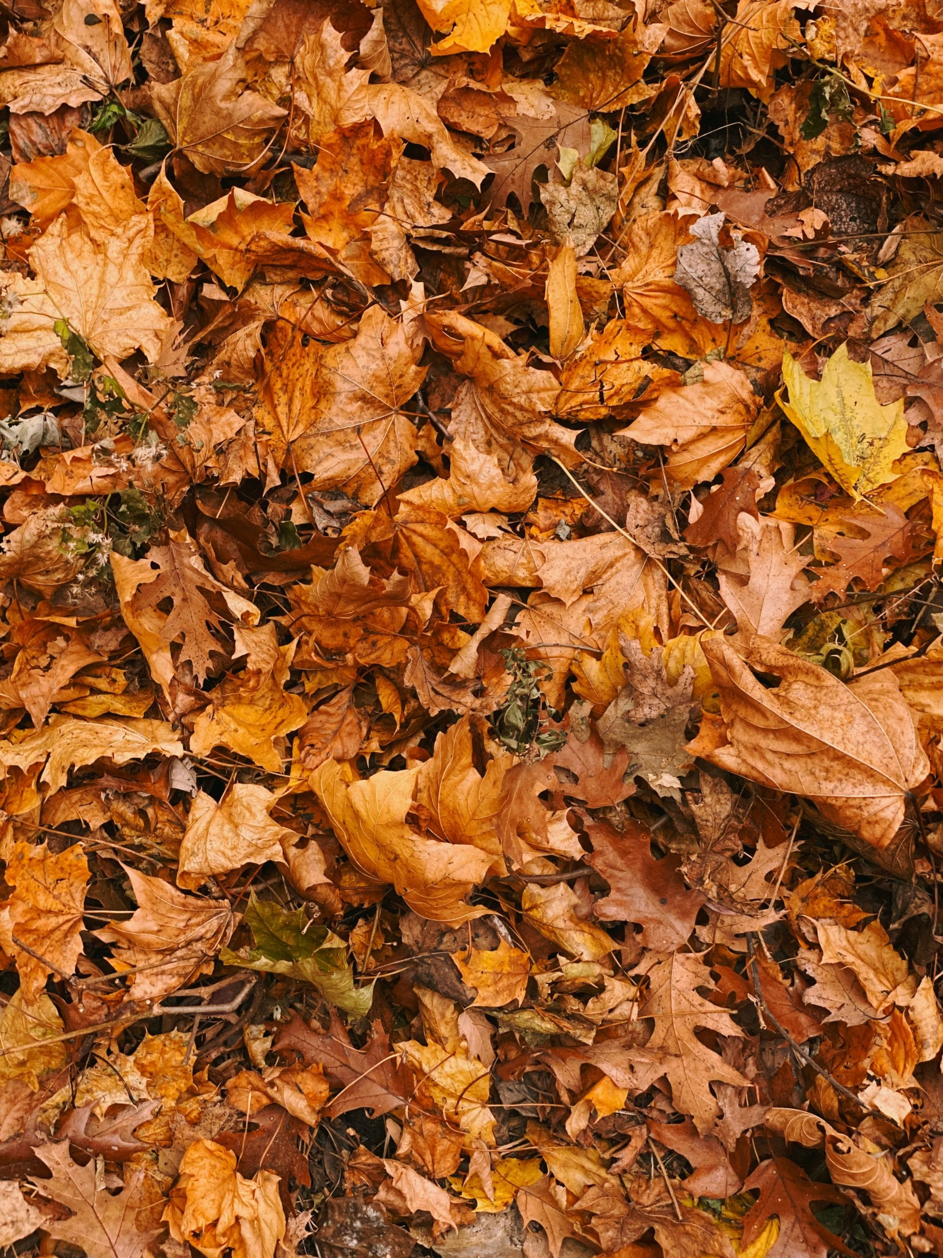 fall orange leaves