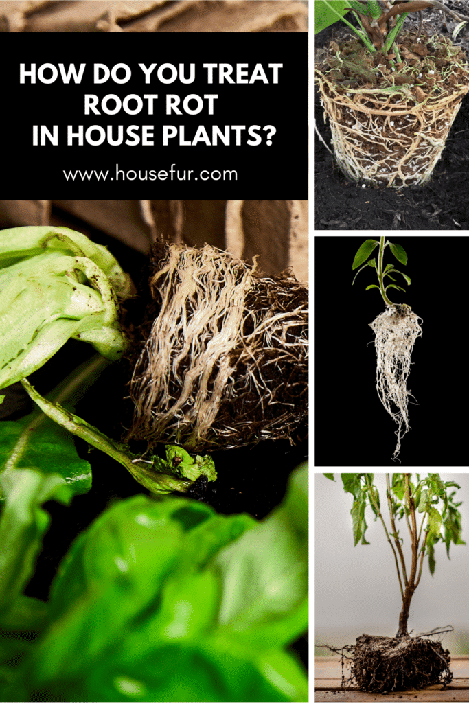 houseplant root rot