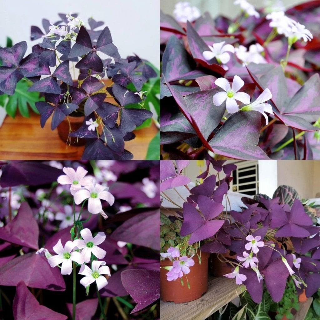 oxalis plant purple