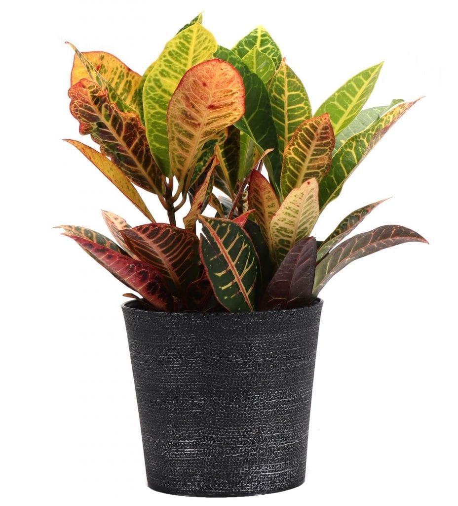 petra croton houseplant