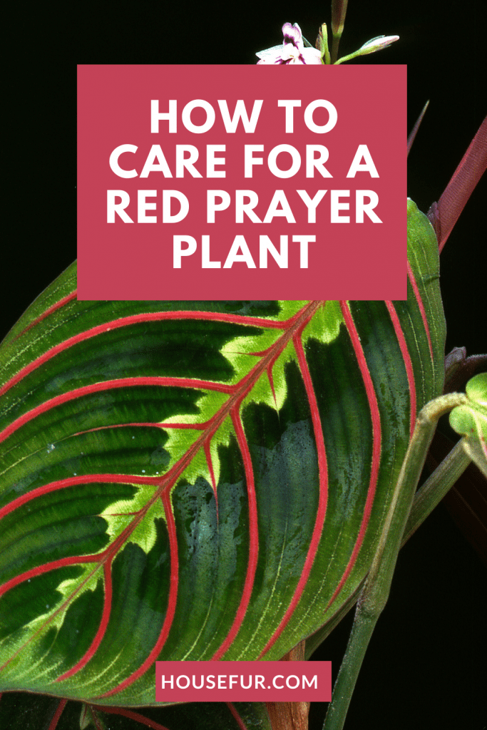 care for red prayer plant
