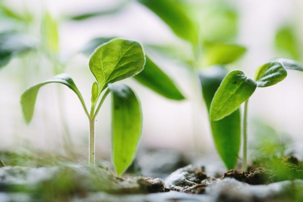 starting garden seeds