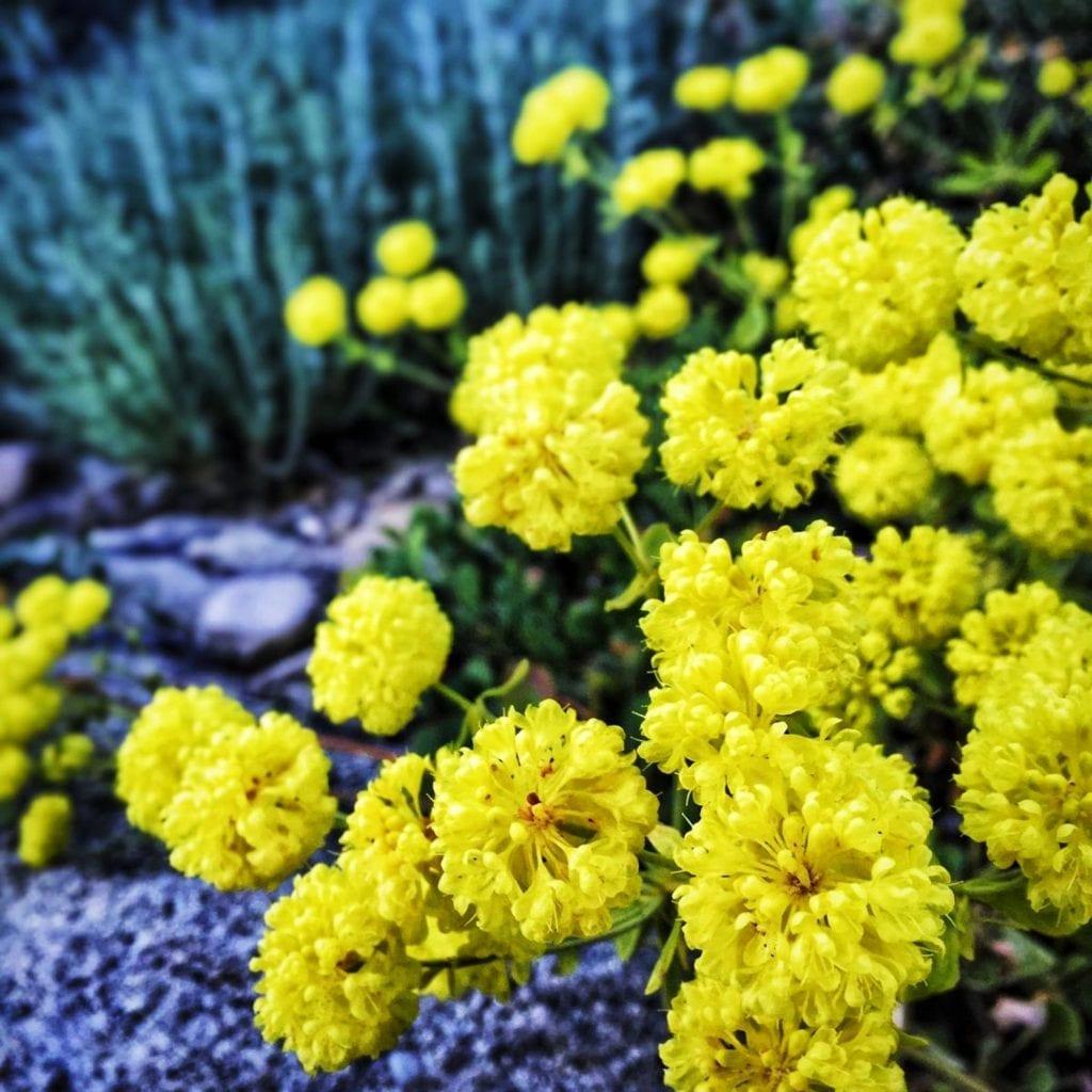 yellow buckwheat