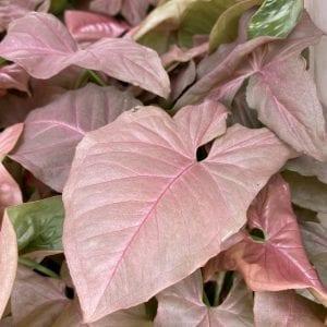 Syngonium Podophyllum Pink