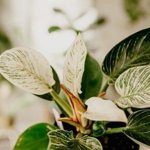 Variegated Philodendron Birkin