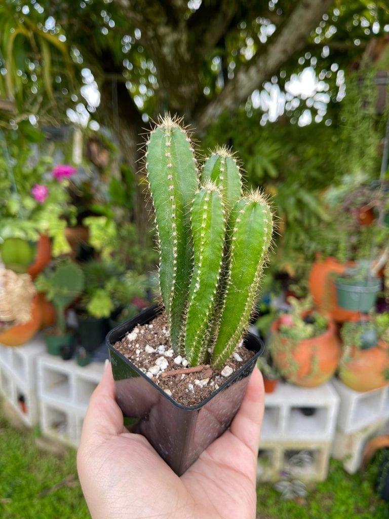 fairy cactus