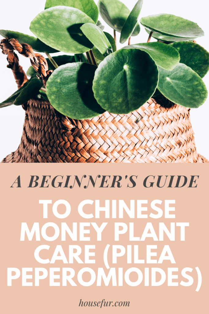 Chinese-money-plant-care