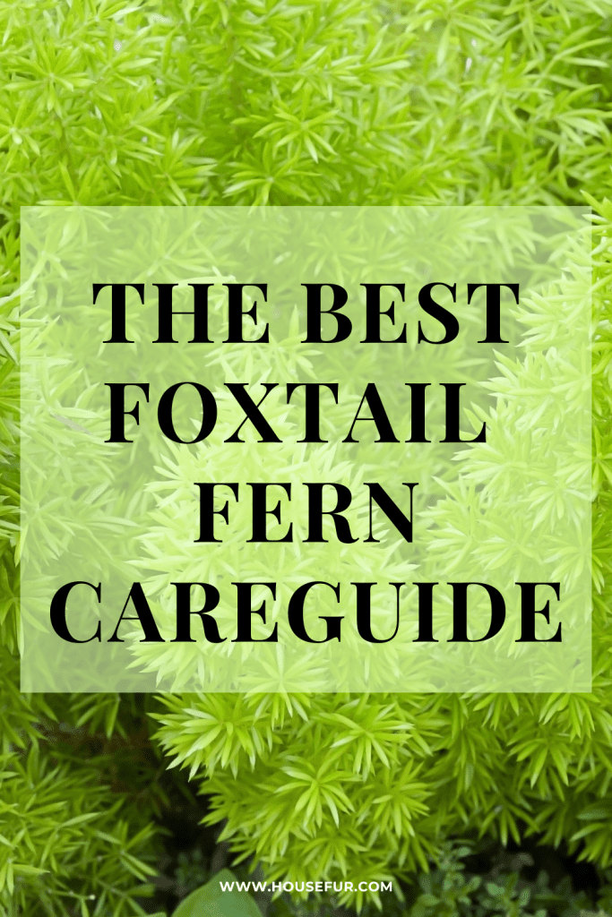 foxtail fern care tips