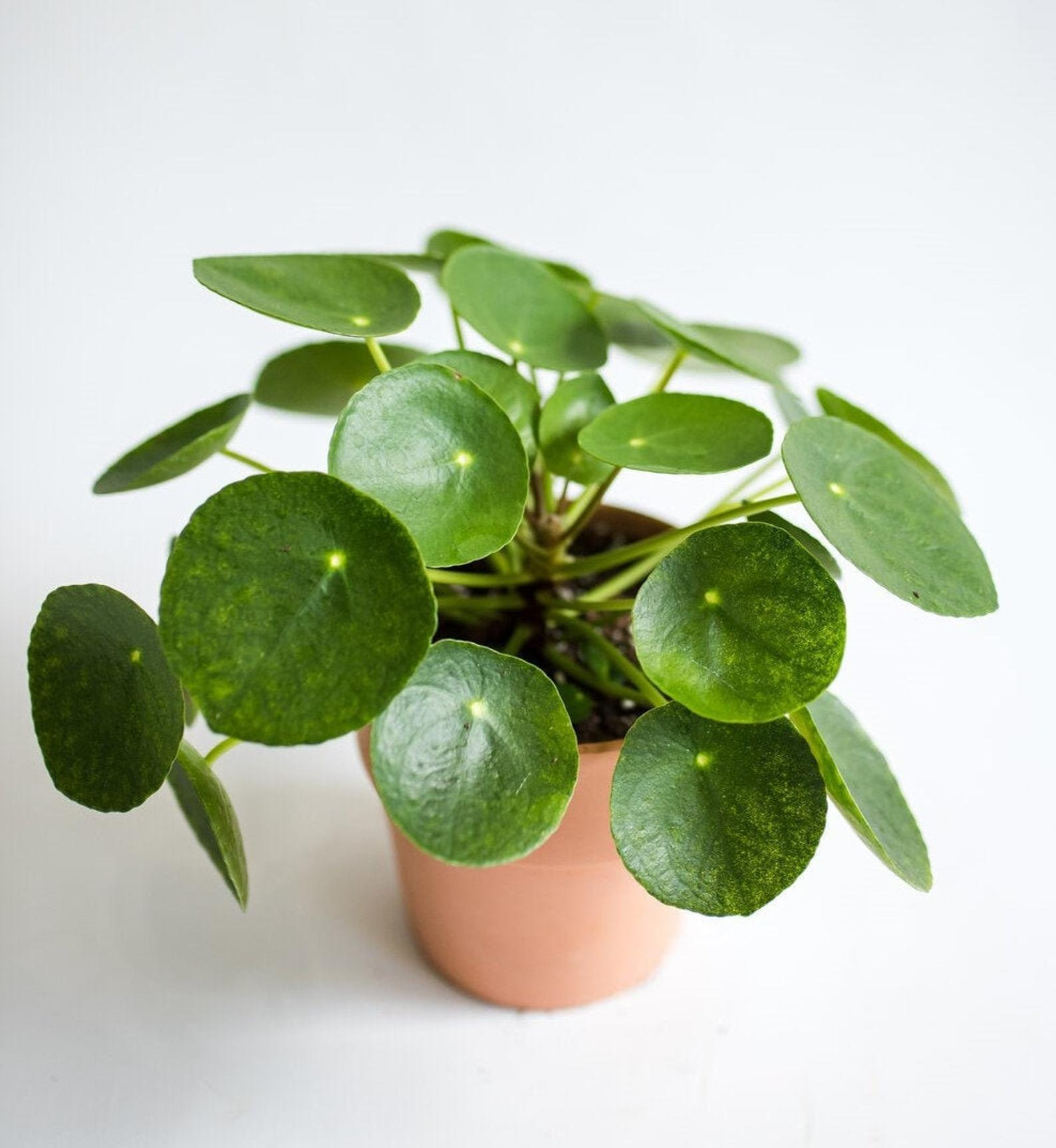 Pilea Peperomioide Chinese money plant