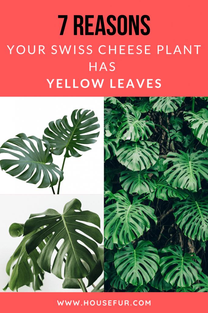 yellow monstera leaves fix