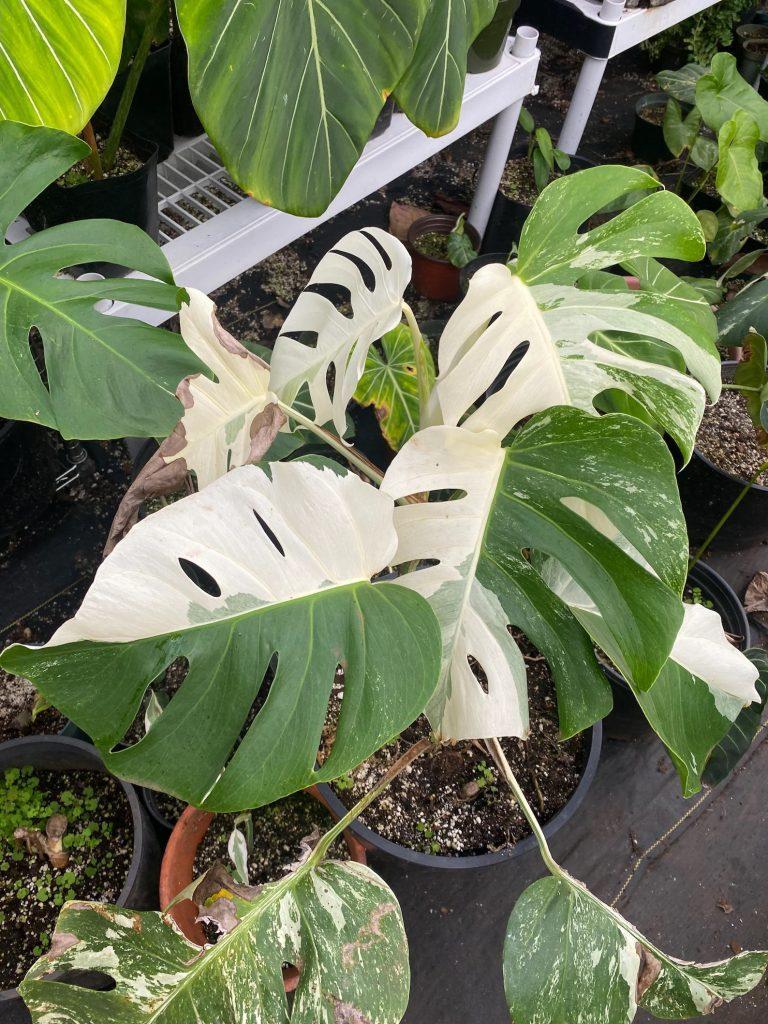 Albo Monstera plant