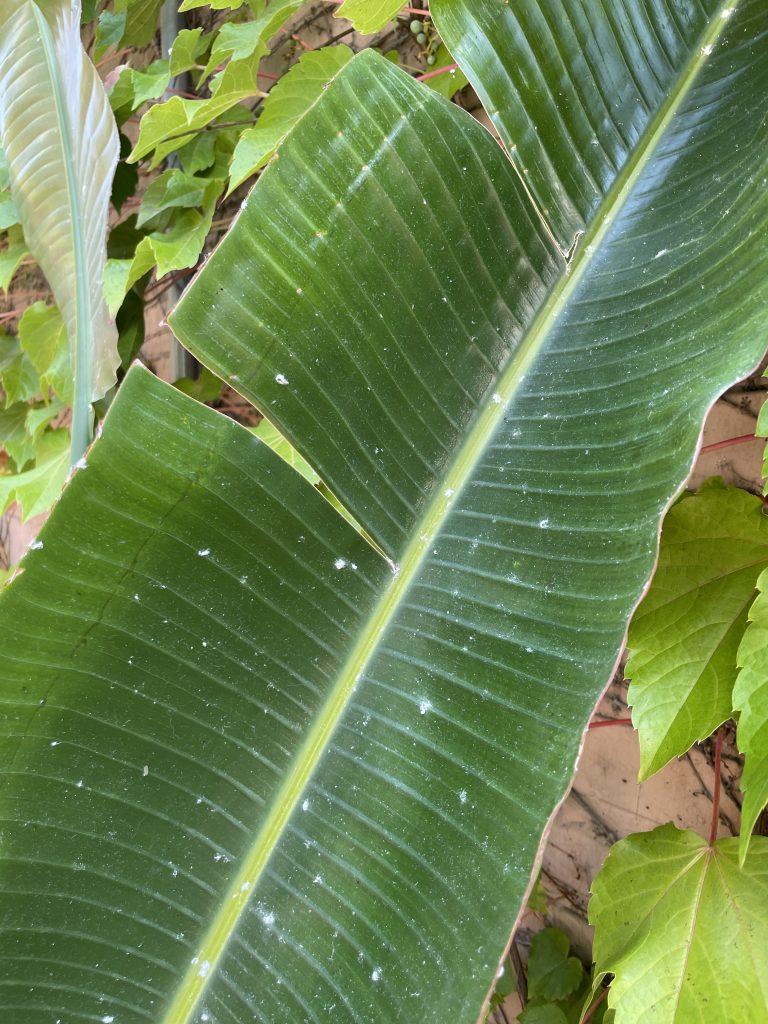 mealybugs on plants