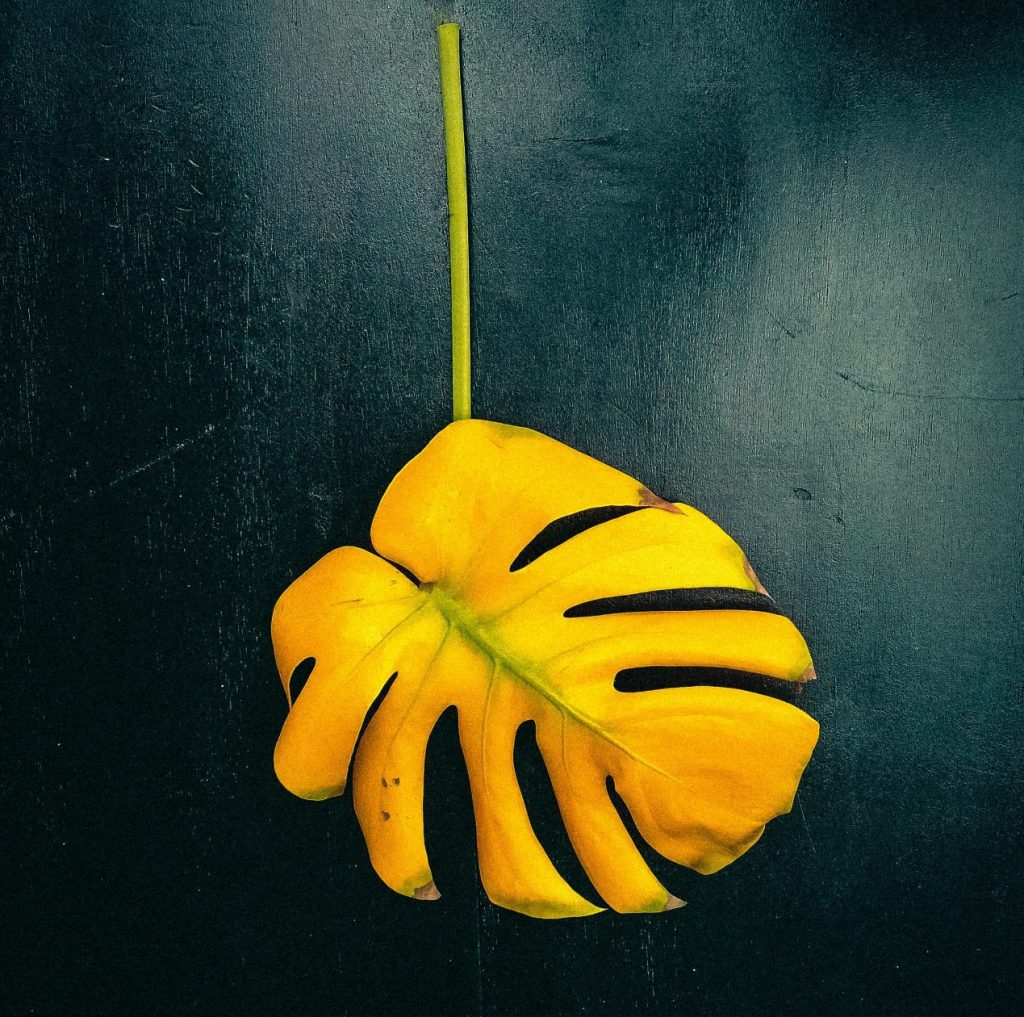 yellow monstera leaf