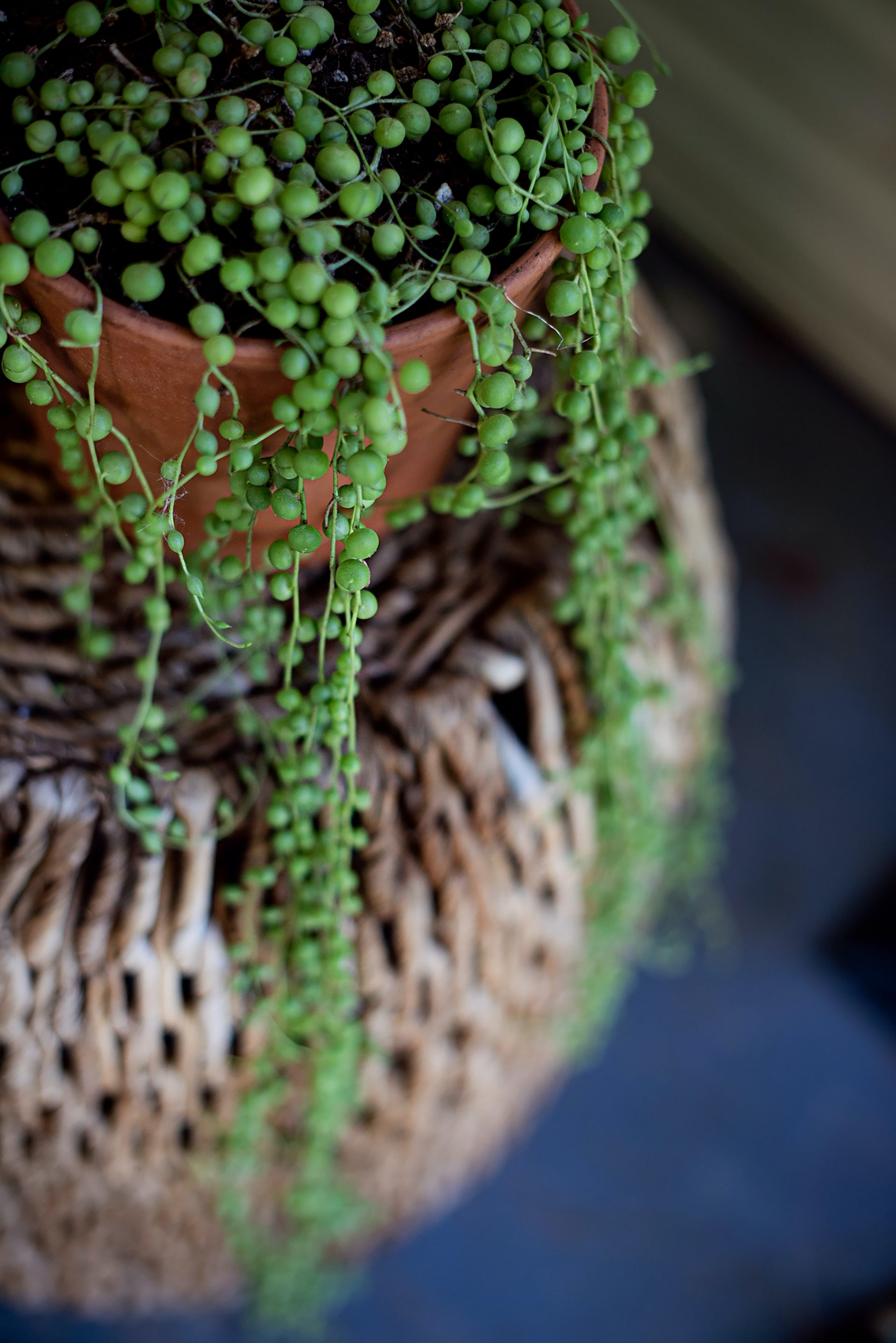 string of pearls houseplant